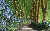 foto of hydrangea  - Lonely side road at Sao Miguel  - JPG