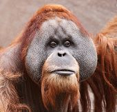 close view of an old male Orangutan