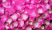 Hortênsia rosa flor