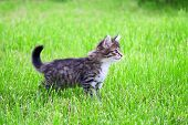 Kitten Plays In A Green Grass