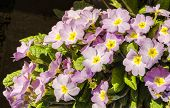 Pink Primrose Illuminated By Spring Sun