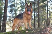 German shepherd in a forest