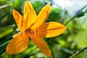 Hemerocallis Lilioasphodelus. Bright Yellow Lily Flower In Summer Garden
