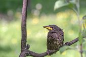 young starling on tree close up