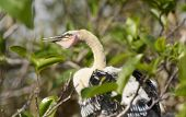 Baby Anhinga On Its Nest