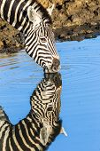 Zebra Water Mirror Closeup Wildlife