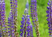 Blue Lupines With Green Background