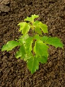 ash-leaved maple sapling two and half months from germination