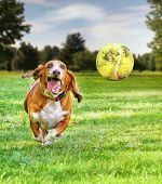 stock photo of basset hound  - a basset hound chasing a ball in a local park or backyard - JPG