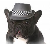french bulldog wearing fedora hat