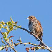 Постер, плакат: Resting Song Sparrow