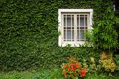 Windows And Walls Are Covered With Ivy Look Elegant And Classic Look.