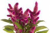 image of celosia  - Cockscomb celosia spicata plant on a white background - JPG