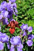 Colorful bearded Iris flowers in garden