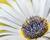 Blue-eyed African Daisy