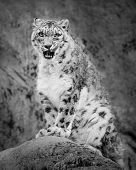 image of snow-leopard  - Frontal portrait of a sitting Snow Leopard