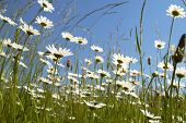 White daisies meadow on blue sky. Low DOF