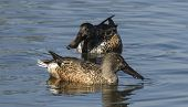 Male And Female Northern Shoveler  Anas Clypeata)