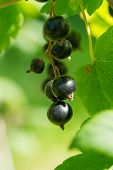 Blackcurrants Hanging In The Bush