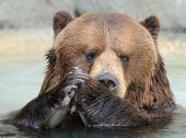Praying Alaskan Brown (Grizzly) Bear