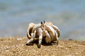 picture of hermit  - Hermit Crab in a screw shell - JPG