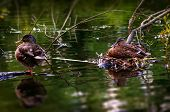Male and female duck care for their eggs in their nest