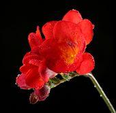 Delicate freesia flower on black background