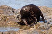 Fur Seal Grooming