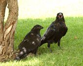 Common Raven Ruckus