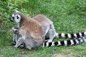 Ring-tailed Lemur Catta On Ground With Baby
