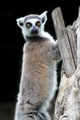 Ring-tailed Lemur Catta Standing On A Branch