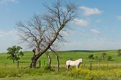 foto of tallgrass  - White horse in a green field near Strong City Kansas