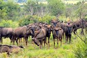stock photo of wildebeest  - herd of african blue wildebeest grazing in pilanesburg national park - JPG