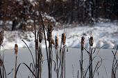 pic of cattail  - Cattails on a frozen pond in the winter - JPG