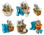 pic of six-petaled  - Set crocus blooming in the basket and garden tools on a white background isolated - JPG