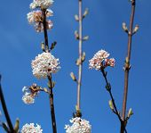 Blooming Viburnum Farreri On Blue Sky Background.