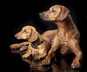 Rhodesian Ridgeback and dachshund in black background
