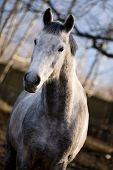 Dapple-gray Horse