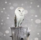 picture of snow owl  - A beautiful barn owl above a trunk with a abstract of snow and branches with textured effect - JPG