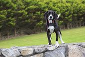 Black and white puppy with collar on fence.
