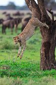 Cheetah jumping from tree in Southern Serengeti, Tanzania