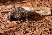 pic of ant-eater  - Echidna on brown background in Australia zoo - JPG
