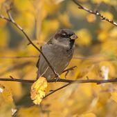 Autumn Sparrow Clodeup