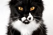 Closeup black and white Maine Coon