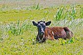 Calf lying on the grass