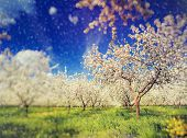 Blossoming apple orchard in spring and blue sky. Retro filtered. Instagram effect. Ukraine, Europe. Beauty world. Tilt Shift blur effect.