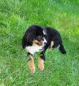 Portrait of young Bernese mountain dog, outdoors