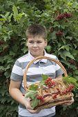 Boy collects berries of viburnum in the garden