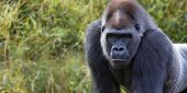 foto of gorilla  - portrait of a silver back gorilla with room for text - JPG