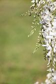 White wisteria blooms with green background